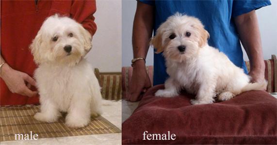Bichon Havanese puppies for sale