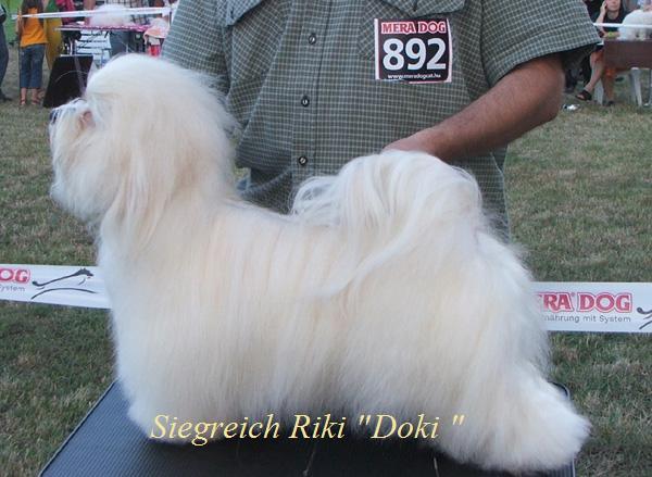 """Havanese male Siegreich Riki """"Doki"""""""