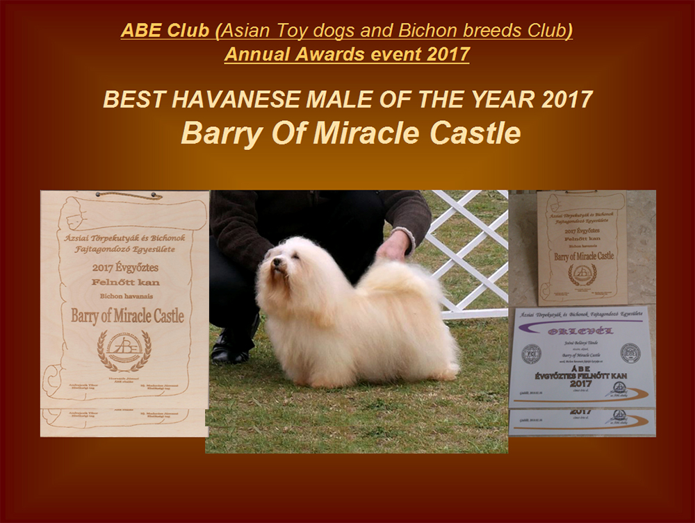 Best Havanese male of the year 2017 HCH Barry Of Miracle Castle