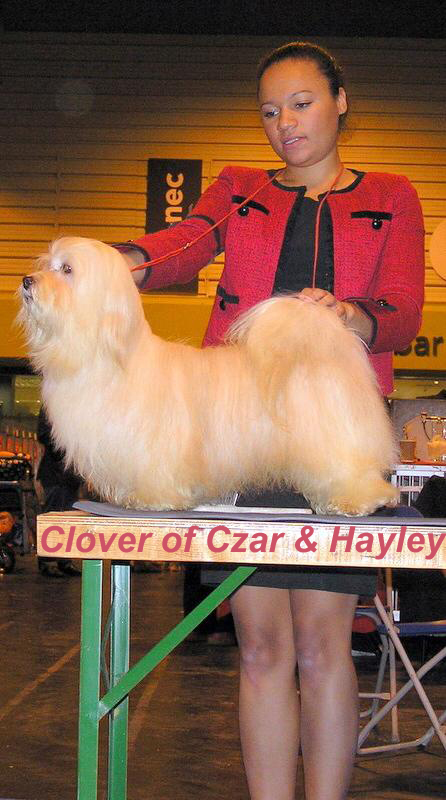Havanese male - Clover of Czar
