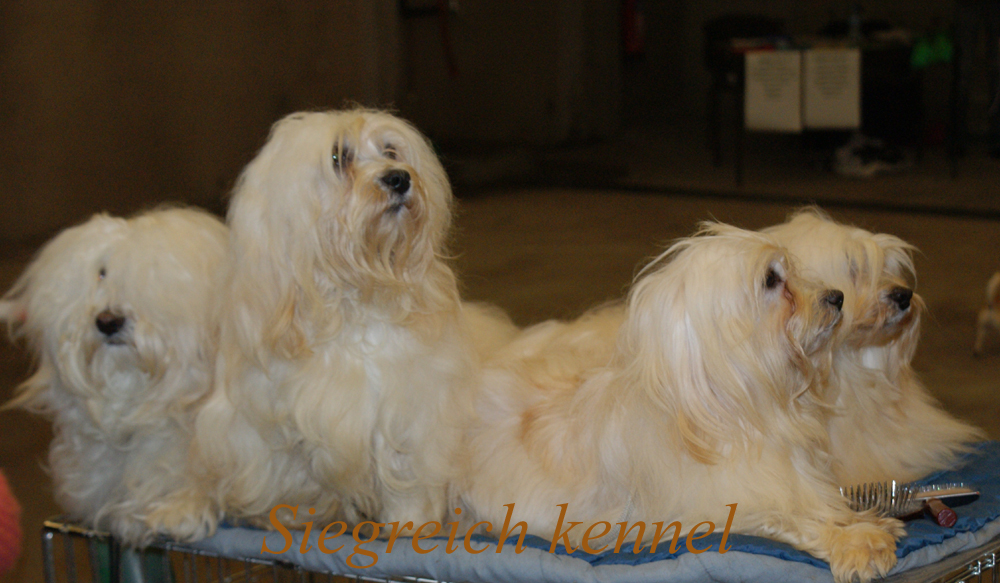 Havanese of Siegreich Kennel
