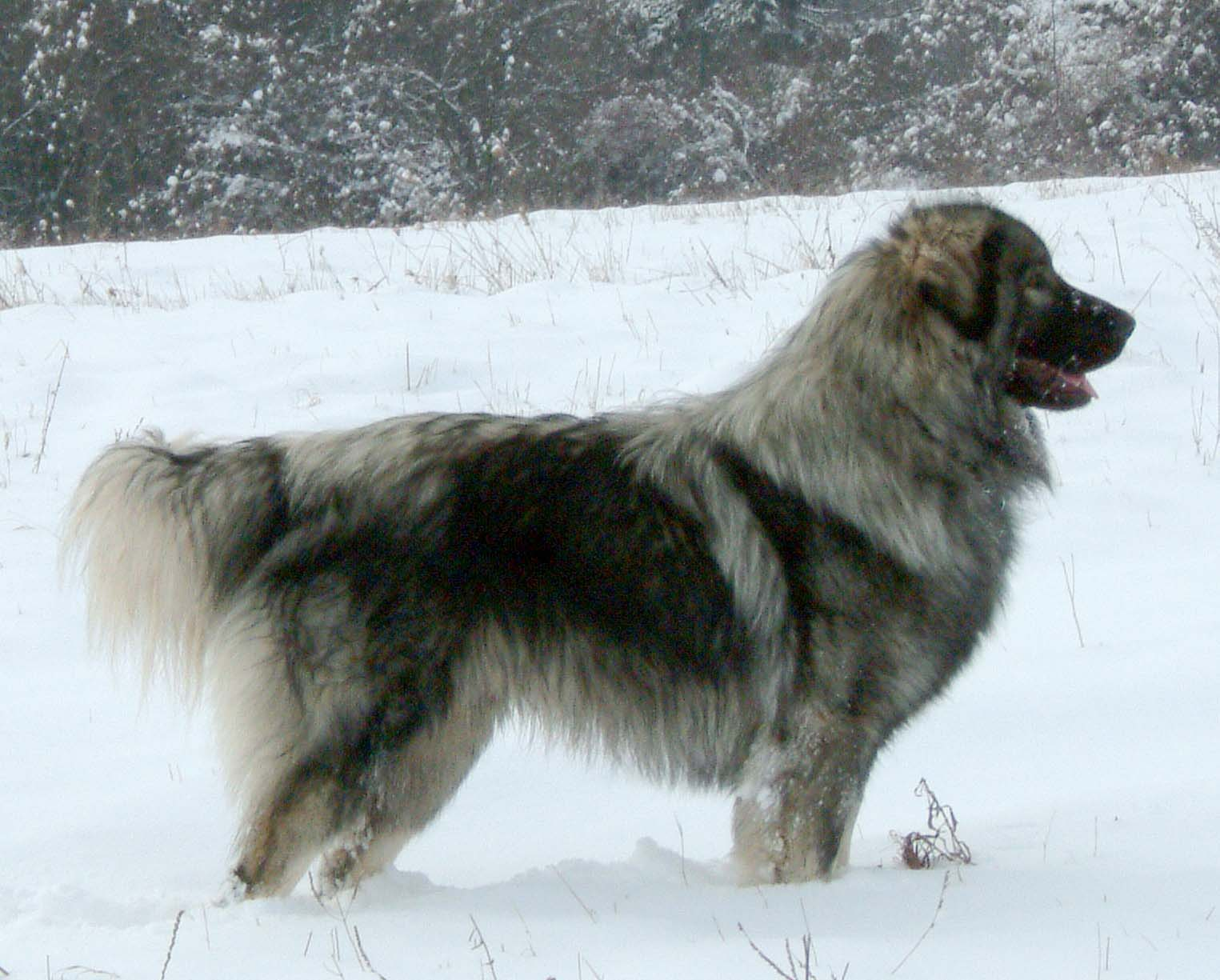 sarplaninac siegreich kennel