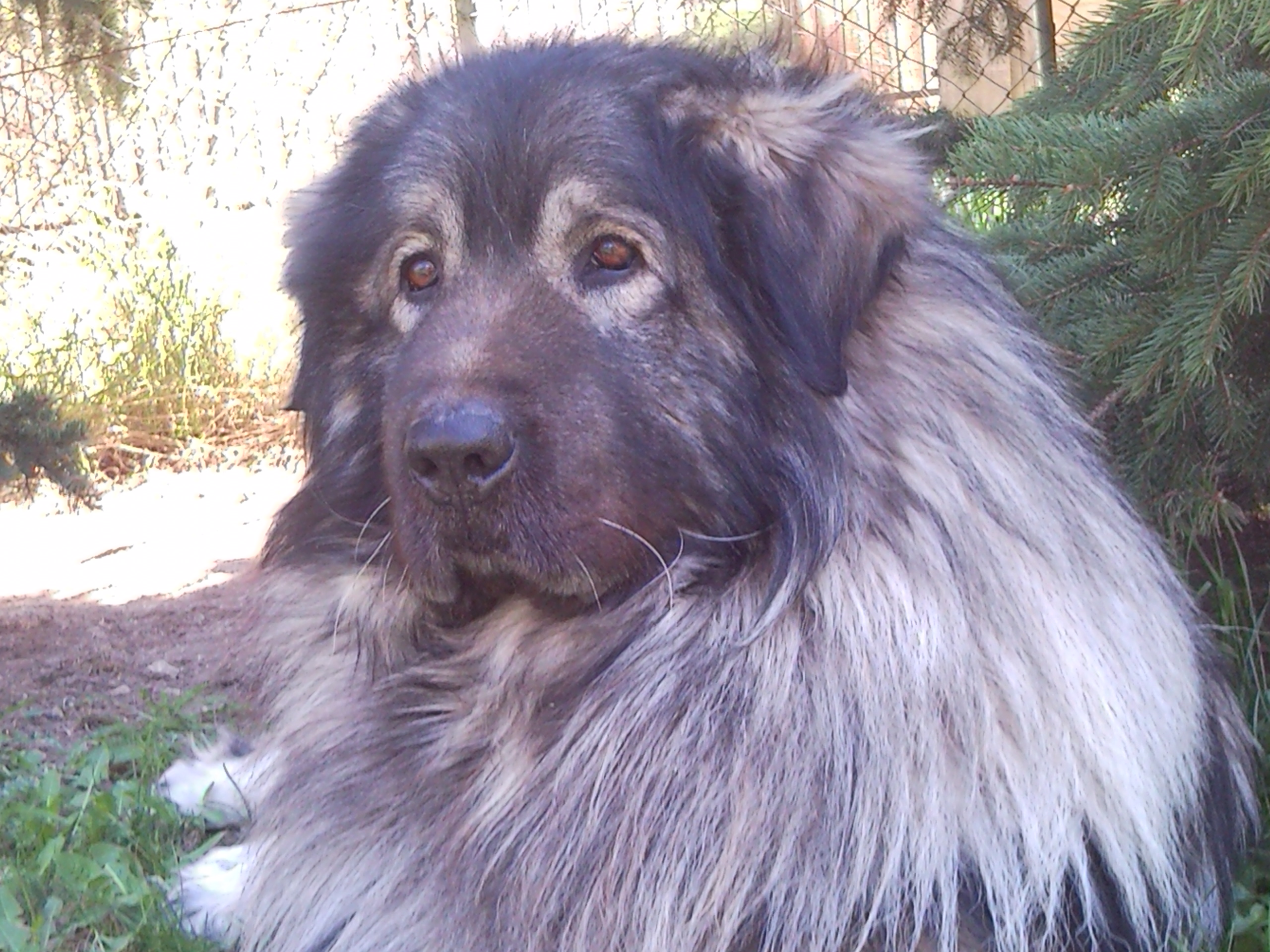 Sarplaninac male - Goran 6 years old