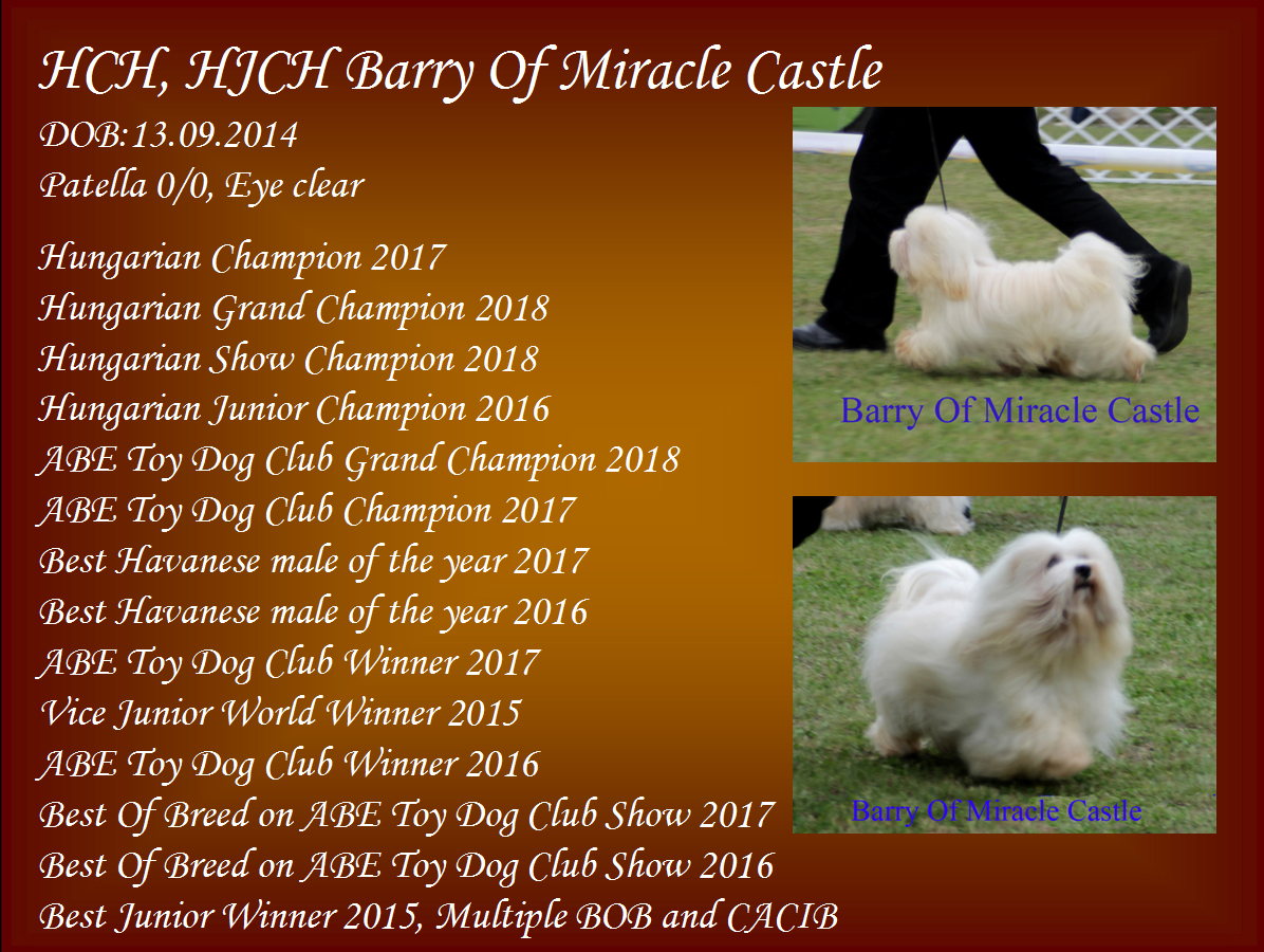 Bichon Havanese Champion male Barry Of Miracle Castle