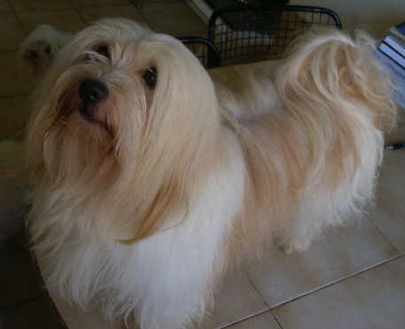 Wonderful 7 years old,  havanese male